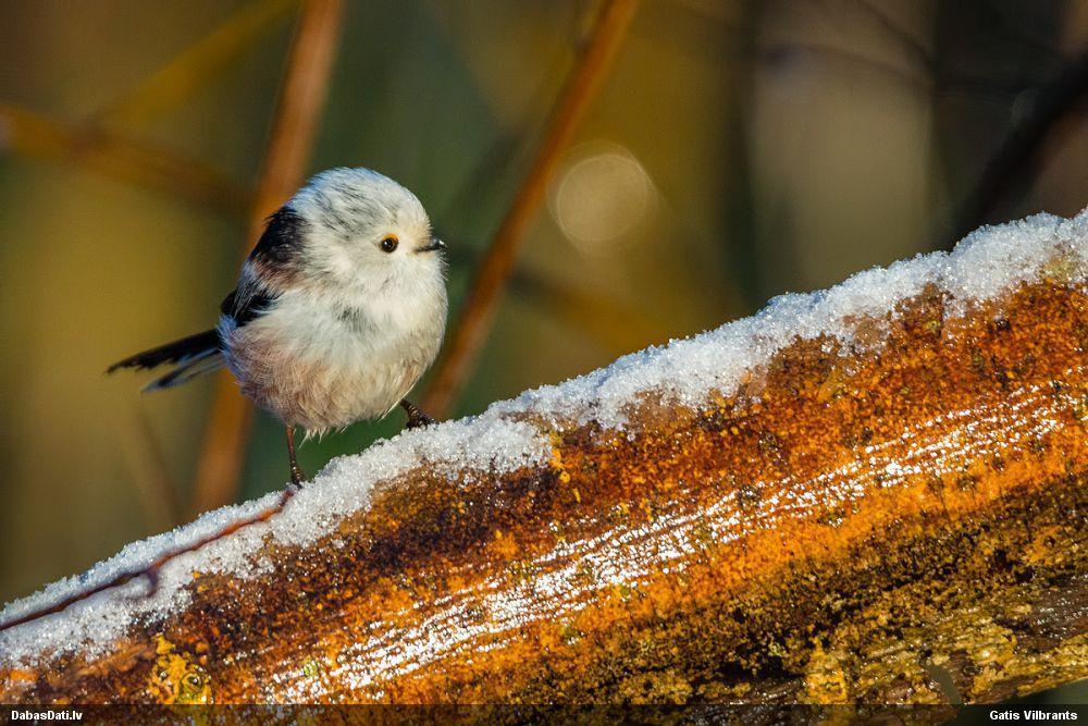Garastīte ziema Gatis Vilbrants